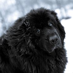 Newfoundland dog                                                                                                                                                                                 More