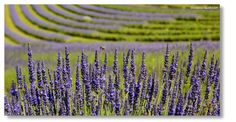 Lavendel, Greith bei Kitzeck Vineyard, Outdoor, Pictures, Lavender, Outdoors, Vine Yard, Vineyard Vines, Outdoor Games, The Great Outdoors