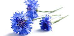 Eau de bleuet : un anti-inflammatoire naturel