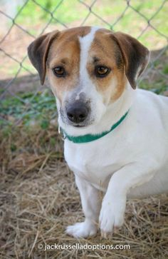 (5) Cover Photos - Georgia Jack Russell Adoption