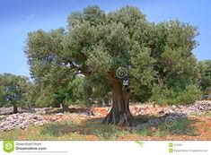 olive tree images - Google Search