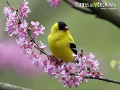 Goldfinch on A Redbud Tree limb, Birds and Blooms Magazine Cute Birds, Pretty Birds, Beautiful Birds, Animals Beautiful, Beautiful Images, Exotic Birds, Colorful Birds, Yellow Finch, Yellow Birds