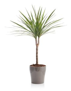 Dracaena Plant Care - Tips For Growing A Dracaena Plant Indoors