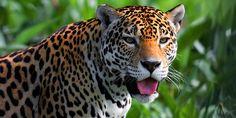 jaguar-yannick-turbe.jpg (600×300)