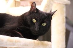 Koda, house-panther extraordinaire, adopted from Cat Depot :)