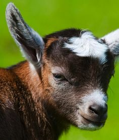 Ever heard the myth that goats will eat anything? That is false. Goats tend to be very fussy when it comes to their diet. Most of the time, they eat green grass, plants or grains. They enjoy spending large amounts of time grazing in pastures and eating at their leisure.