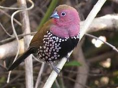 pink throated twinspot - Google Search