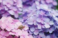 まよいマイマイ A tiny Snail on pink and purple Hydrangea by comolebi.