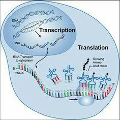 AP Biology for Dummies: Übersetzung - Cells, Organelles, DNA & RNA - Bildung Ap Biology, Biology College, Biology Classroom, High School Biology, Biology Lessons, Cell Biology, Science Biology, Teaching Biology, Science Lessons