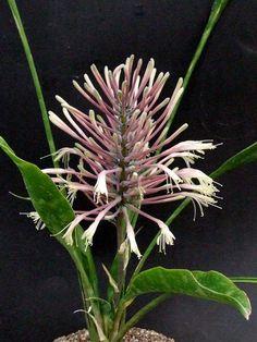 Sansevieria concinna Massinga CG037.…