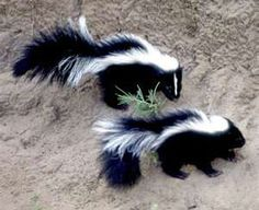 Skunks seen in the wild.  They were found everywhere.  You can smell them blocks away.  If you get sprayed good luck getting the stink off either you or your dog.  I have heard tomato juice works some.