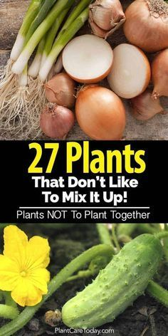 Incompatible plants - some plants grow well together and some plants do not plant together! Vegetables, herbs, tomatoes, cucumbers, potatoes [LEARN MORE]