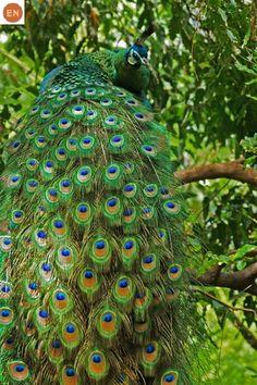 https://www.facebook.com/WonderBirds-171150349611448/ Công lục; Họ Trĩ-Phasianidae; Đông Nam Á và nam Trung Quốc || Green peafowl (Pavo muticus); IUCN Red List of Threatened Species 3.1 : Endangered (EN)(Loài nguy cấp)