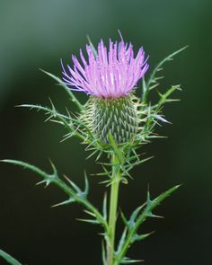 ADVICE OF THE DAY: For a stiff neck, apply a poultice of mashed thistle leaves or purslane soaked in linseed oil. Exotic Flowers, Wild Flowers, Beautiful Flowers, Scottish Thistle Tattoo, Scottish Flowers, Thistle Flower, Thistle Plant, Old Farmers Almanac, Nature Tattoos