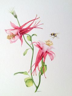 judith jerams botanic artist | Contemporary botanicals: Aquilegia and bumble bee. Watercolour by ...
