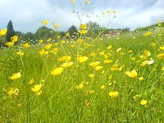 Happiness is running through a field of buttercups in bare feet Forest Flowers, Wild Flowers, Alpine Flowers, Summer In England, Sunflowers And Daisies, Daisy Field, Flower Meanings, Country Landscaping, Black Eyed Susan