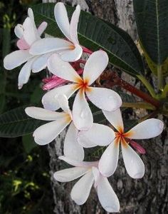 Useful #tips for growing tropical plants and #plumerias in temperate climates.