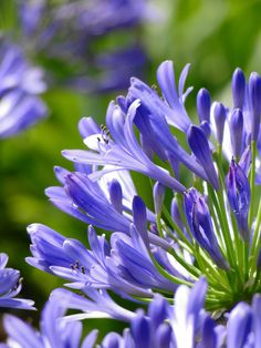 Agapanthus are stunning large flowers which make a real statement when grouped together in tall vases