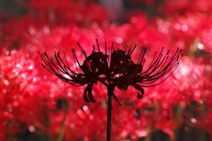 best Red Spider Lily images on Pinterest Flower gardening