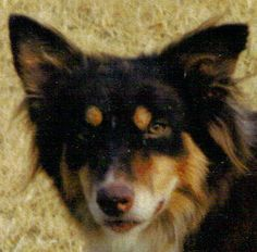 Kate ~ a very dark chocolate tan pt. ( her nose is liver ) She was just growing her new coat & the dead grass background does make it look even darker photo : Visions Border Collies