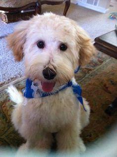 Finn the Mini Labradoodle.  Hair Cut!