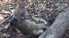 This is the moment a  baby monkey clings onto its dead mother's body in Thailand after she was hit by a motorcycle.