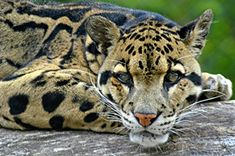 The clouded leopard is the rarest big cat still surviving in the wild. Due to poaching, habitat destruction, and the difficulty they have with breeding, their numbers are quickly dwindling. Find out how you can help save the clouded leopard!