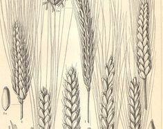 wheat etch