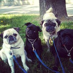 Pug posse