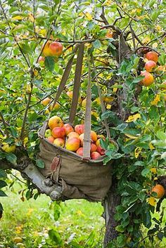 Picking apples in the orchard. From Clive Nichols Photography.