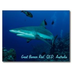 This cool postcard features a grey reef shark in the clear blue waters of the Coral Sea. The photo was taken on Osprey Reef about 200km off the coast of Australia. #reef #ocean #shark #sharks #sea #coral #reefshark #coralreef #coralsea #greatbarrierreef