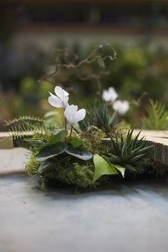 Woodland centerpiece detail with a large wood slab from a Juniper tree, contorted filbert branch, white cyclamen, Haworthia fasciata, Grevillea, sea star fern and moss, by Cincinnati wedding florist Floral Verde LLC.