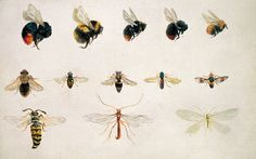 beatrix potter study of bees: would be beautiful in a guest room with metallic dark blue wallpaper...
