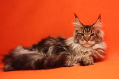 New!!!elite Maine Coon Kitten From Europe With Excellent Pedigree. Male. A21 in Brooklyn, New York - Hoobly Classifieds