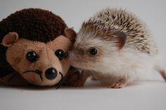 hedgehog with stuffed hedgehog