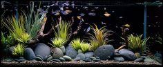 Akvaryum Kurarken Örnek Alabileceğiniz Bitkili Akvaryum Fotoğrafları  #akvaryum #bitkiliakvaryum #bitkili #ornek #biotopeaquarium #biotope #aquarium #tropical ------ @dkupnet // dkup.net