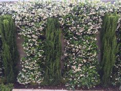 Jasmine arches in full bloom