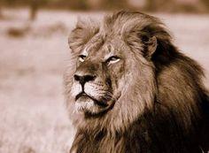 Der Löwe Cecil wurde bei einer Safari-Tour von einem amerikanischen Zahnarzt erschossen.