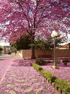 Ipê rosa - quero uma dessas na frente da minha casa...