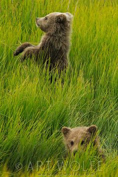 "Brown Bear Cubs, Front Cub: ""Bro! Keep your head down!"" Lake Clark National Park, Alaska, USA. (Photo By: © Art Wolfe.)"