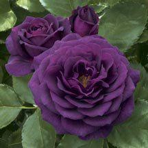 Ebb Tide Floribunda Rose. Purple roses are also on my list of rose colors.