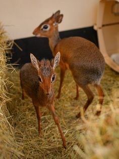 Dik-diks are small antelope who only grow to be 30-40 cm tall…and they might just be the cutest animals ever. What do you think?