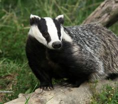 """""""Although protected badgers are being killed in large numbers in a misguided attempt to control TB in dairy cattle. Baby Badger, Honey Badger, Otter, Dairy Cattle, Feel Good Stories, Animal Habitats, Woodland Creatures, Animal Welfare, Panda Bear"""