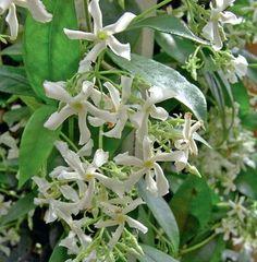 Créez une ombre odorante avec des plantes grimpantes Habillez deux arceaux avec des plantes grimpantes : vous aurez un peu dombre et bénéficierez dune ambiance fleurie. Choisissez des persistants. La clématite (Clematis armandii) se couvre de fleurs blanches odorantes en mars, le jasmin étoilé (Trachelospermum jasminoides) fleurit blanc au début de lété et sent également très bon. Plantez-les en pots de 50 à 70 cm, dans un terreau enrichi auquel vous ajouterez de la corne broyée qui sert den