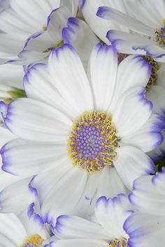 ~~White and purple | Cineraria by Tramont_ana~~