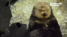 Funny pictures about Otter Getting Brain Freeze After Eating Ice. Oh, and cool pics about Otter Getting Brain Freeze After Eating Ice. Also, Otter Getting Brain Freeze After Eating Ice photos. Best Funny Pictures, Cute Pictures, Baby Animals, Cute Animals, Cat Brain, Baby Otters, Sea Otter, Cat Memes, Animal Kingdom