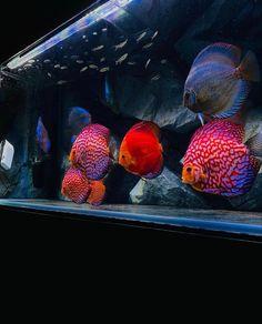 Discus Aquarium, Aquarium Backgrounds, Fish, Pets, Animals, Animales, Animaux, Pisces, Animal