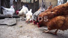 Hen Eating - Stock Footage | by botiordog Stock Video, Stock Footage, Animals, Animales, Animaux, Animal, Animais