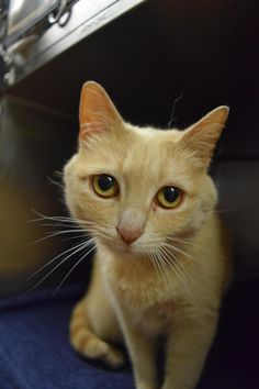 Butterscotch - URGENT - ISLIP ANIMAL SHELTER AND ADOPT-A-PET CENTER in Bay Shore, NY - ADOPT OR FOSTER - 2 year old Spayed Female Domestic SH