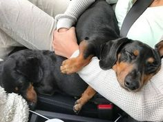 """""""Two out of three of us are very comfortable! """" ~ Crusoe Tag someone who sacrifices their comfort for the dog! #Dachshund"""